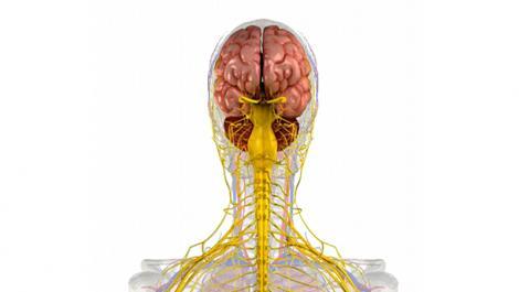 anatomie, atemwege, lunge