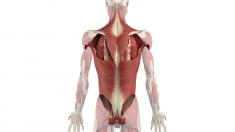 anatomie-hals-rumpfmuskulatur-800.png