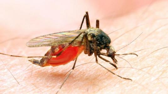 moskito, mücke, zika