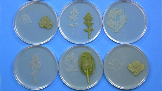 bakterienkultur, salat