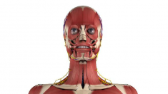 Anatomie, Gesichtsmuskulatur