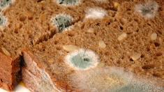 Schimmel, Schimmelpilz, verschimmeltes Brot