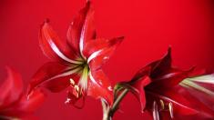 Amaryllis, Giftpflanze, Gift