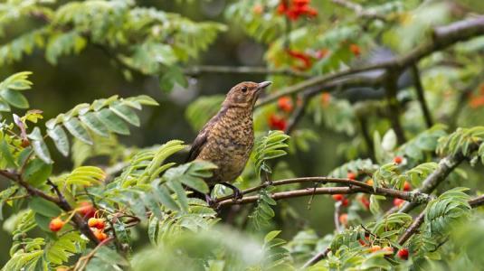 eberesche, giftpflanzen, vogelbeere