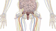 Anatomie, Geschlechtsorgane, Frau