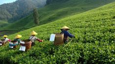 Grüner Tee, Haut, Hautalterung, Falten,