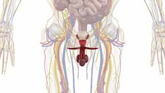 Anatomie, Geschlechtsorgane, Mann