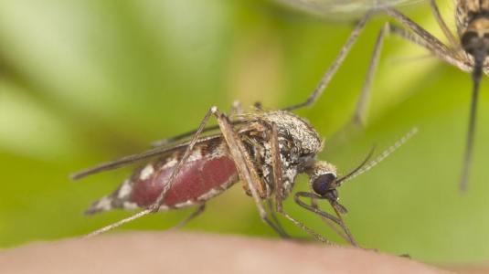 mücke bei der blutmahlzeit