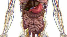 anatomie-magen-darm-trakt-800.png