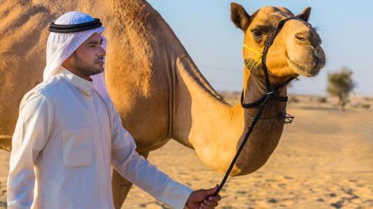 araber, dromedar, kamel