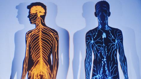 körper, nervensystem