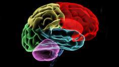 Gehirn, Nerven,