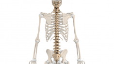 anatomie-wirbelsaeule-800.png