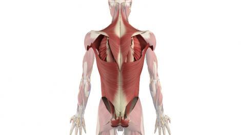 anatomie, halsmuskulatur, rumpfmuskulatur