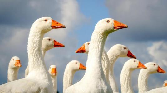 gänse, vogelgrippe