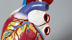 Modell eines Herzens