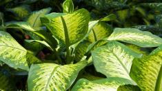 Dieffenbachie, Giftpflanzen, Gift