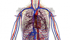 anatomie-herz-kreislauf-800.png