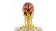 Anatomie, Lunge, Atemwege