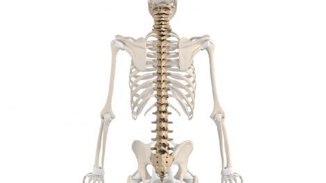anatomie, knochen, wirbelsäule
