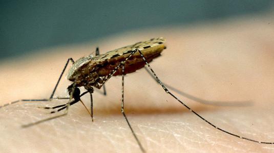 bernhard-nocht-institut, malaria, mücke, tropeninstitut, anopheles stephensi