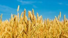 Wer Weizen nicht verträgt, hat womöglich eine Weizensensivität