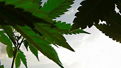 blätter, cannabis