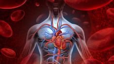 Blutkreislauf, Herz