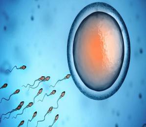Spermien und Eizelle