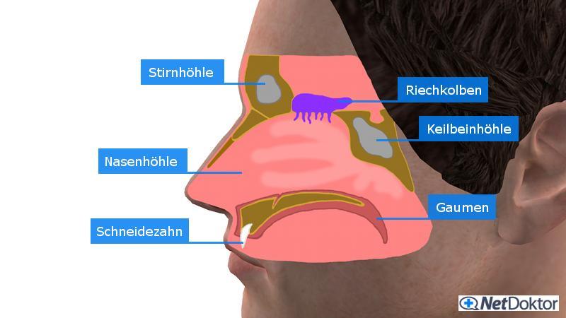 Nasenbluten (Epistaxis): Ursachen und wann Sie zum Arzt sollten ...