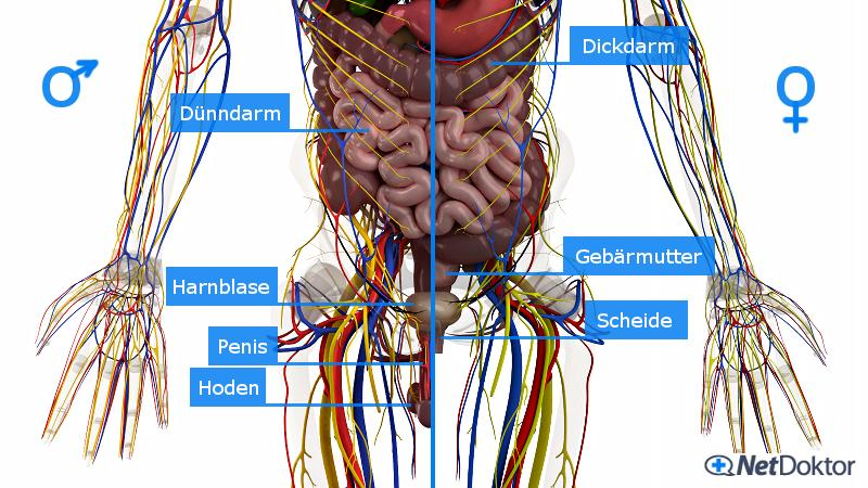Anatomie Unterleib Frau